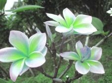 Buy DOUBLE LEEM PLUMERIA'S CUTTING WITH ROOTED 7-12 INCHE WITH CERTIFICATION