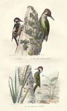 Buy Buffon Woodpeckers 1844 hand coloured engraving