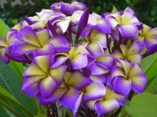 Buy MAMEEYA-IX PLUMERIA'S CUTTING WITH ROOTED 7-12 INCHES WITH CERTIFICATION