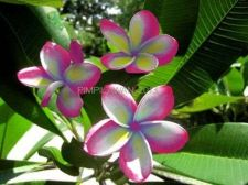 Buy PIMPILAWAN PLUMERIA'S CUTTING WITH ROOTED 7-12 INCHES WITH CERTIFICATION