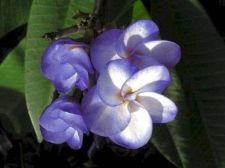 Buy JINTANUT PLUMERIA'S CUTTING WITH ROOTED 7-12 INCHES WITH CERTIFICATION