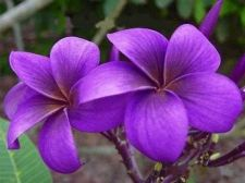 Buy VIOLET-V PLUMERIA'S CUTTING WITH ROOTED 7-12 INCHES WITH CERTIFICATION