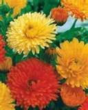 Buy 100 HEIRLOOM CALENDULA Pot Marigold seeds mix