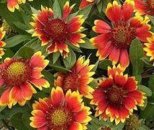 Buy 100 HEIRLOOM BLANKET FLOWER, bLANKET gaillardia aristata seeds