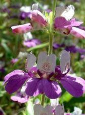 Buy 100 HEIRLOOM Chinese Houses Collinsia heterophylla seeds