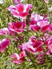 Buy 200 HEIRLOOM Farewell to Spring Clarkia unguiculata seeds