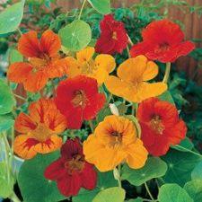 Buy 50 HEIRLOOM Nasturtium edible plant / vine Mix SEEDS
