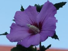 Buy 100 Heirloom Purple Rose of sharon shrubs{Hibiscus } seeds