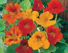 Buy 50 HEIRLOOM Nasturtium,( Tropaeolum majus ) Edible plant Seed