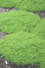 Buy 1000 HEIRLOOM IRISH MOSS Sagina Subulata Seeds