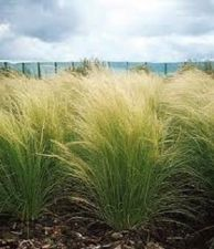 Buy 100 Ornamental Mexican Feather (Stipa tenuissima) Grass Seeds