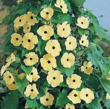 Buy 20 HEIRLOOM CANARY EYES Black Eyed Susan Vine Seeds