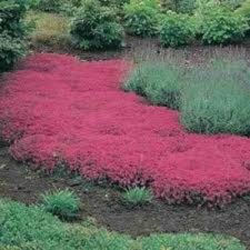 Buy 500 HEIRLOOM Creeping Thyme thymus serpyllum seeds