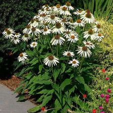 "Buy 25 White Swan ( Echinacea Purpurea ) Enormous flowers 4'' to 5 "" across bloom Pe"