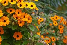 Buy 35 HEIRLOOM Black-eyed Susan vine (Thunbergia alata) SEEDS