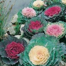Buy 25 Ornamental Cabbage (Brassica oleracea ) Mixed Seeds
