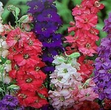 Buy 100 VARIETY GIANT IMPERIAL LARKSPUR MIX FLOWER SEEDS