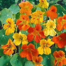 Buy 50 HEIRLOOM Nasturtium, Edible plant (vl) Mix SEEDS