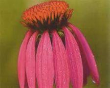 Buy 100 Black Samson Echinacea angustifolia Seeds
