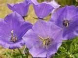 Buy 500 HEIRLOOM bellflower tussock Campanula carpatica seeds