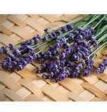 Buy 100 HEIRLOOM Evergreen Perennial, Lavender 'Munstead' SEEDS