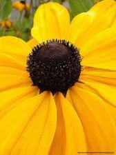 Buy 500 HEIRLOOM Black Eyed Susan (Rudbeckia hirta) seeds