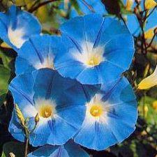 Buy 25 HEIRLOOM Morning Glory Heavenly Blue (Produce 4'' to 5'' Flowers) Seeds