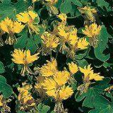 Buy 10 Canary Creeper Bird Vine Nasturtium - (Tropaeolum peregrinum) Seeds