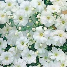 Buy 100 Heirloom Baby's Breath Gypsophila Covent Garden Seeds