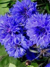 Buy 100 HEIRLOOM Bachelor Button Centaurcea cyanus seeds