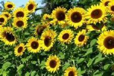 Buy 1 oz Variety Gray Stripe Mammoth Sunflower Seeds
