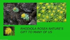 Buy Rhodiola Rosea 3% rosavins 1% Salidroside 60 Capsules Standardized 400MG