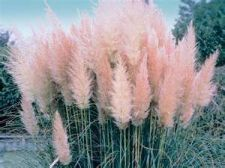Buy 100 Ornamental Pink Pampas (Cortaderia Selloana) Grass Seeds