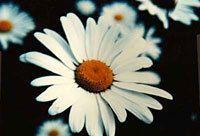 Buy 200 HEIRLOOM Chrysanthemum maximum, giant Shasta Daisy seeds