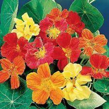 Buy 50 HEIRLOOM Nasturtium, eatable plant Mix SEEDS