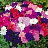 Buy 100 Heirloom Petunia Mixed Colors Seeds