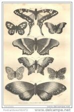 Buy PERU - BUTTERFLIES FROM SAUSIPATA - etching from 1870