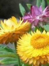 Buy 100 HEIRLOOM STRAWFLOWER mix helichrysum monstrosum seeds