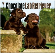 Buy Labrador Retriever Puppies, Chocolate 2015 Square 12x12