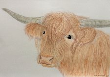 "Buy ""Scottish cow"""