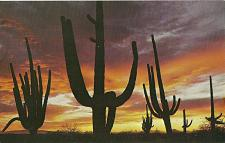 Buy Giant Saguaros Cactus Silhouetted Red Sunset Arizona Postcard