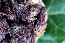 Buy 1 oz Indian Warrior (Pedicularis Densiflora) Wildcrafted Flower Buds Herb