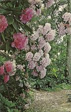 Buy Descanso Gardens La Canada Rhododendron Trail California Postcard