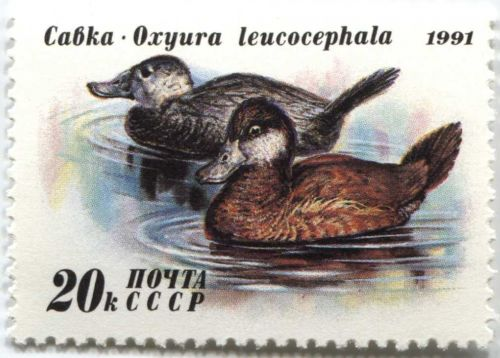 1991 Russia Duck Conservation Stamp 20k White Headed Duck