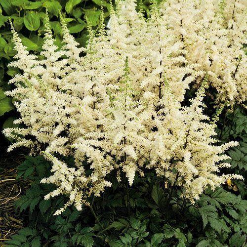 50 White Astilbe Seeds Bunter Shade Perennial Garden Flower Bloom Chinensis 718