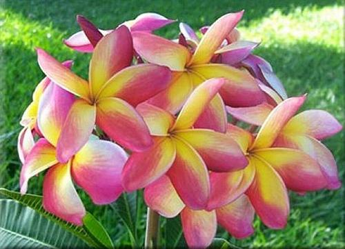 5 Yellow Pink Plumeria Seeds Plants Flower Lei Hawaiian Perennial Flowers 454