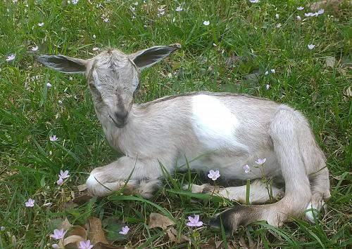Baby Goat Taxidermy