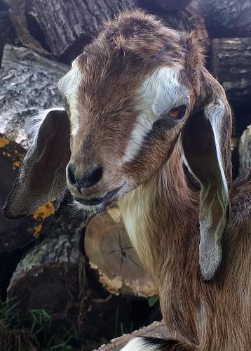 Baby Goat Taxidermy