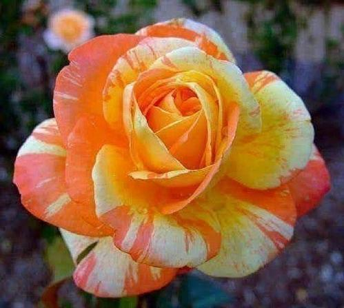 10 Orange White Rose Seeds Flower Bush Perennial Shrub Garden Home Garden Exotic