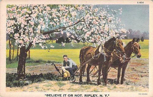 Believe it or Not, Ripley, N.Y. Postcard